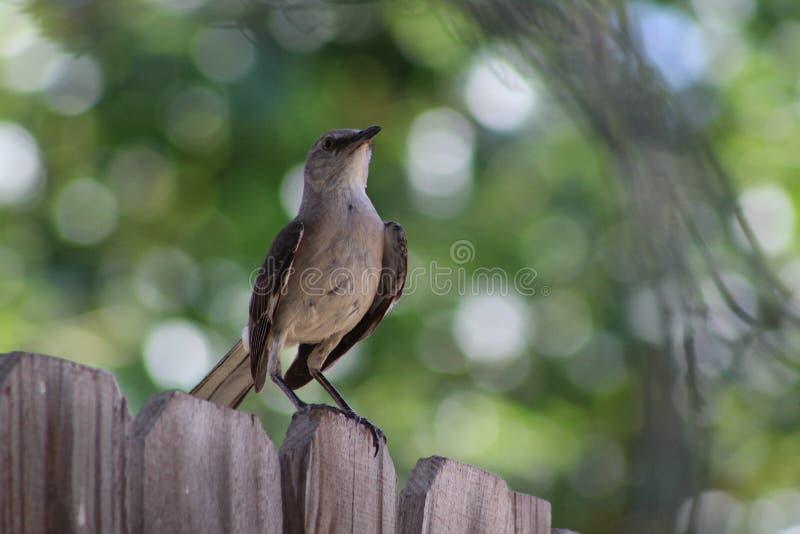 mockingbird fotografia de stock royalty free