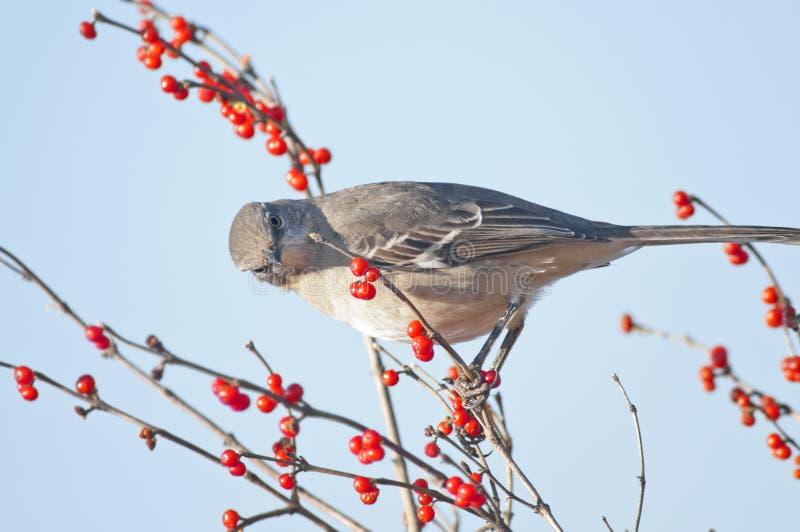 Mockingbird do norte fotografia de stock royalty free