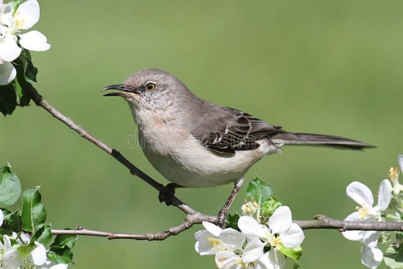 Mockingbird do norte (polyglottos do Mimus) fotos de stock royalty free