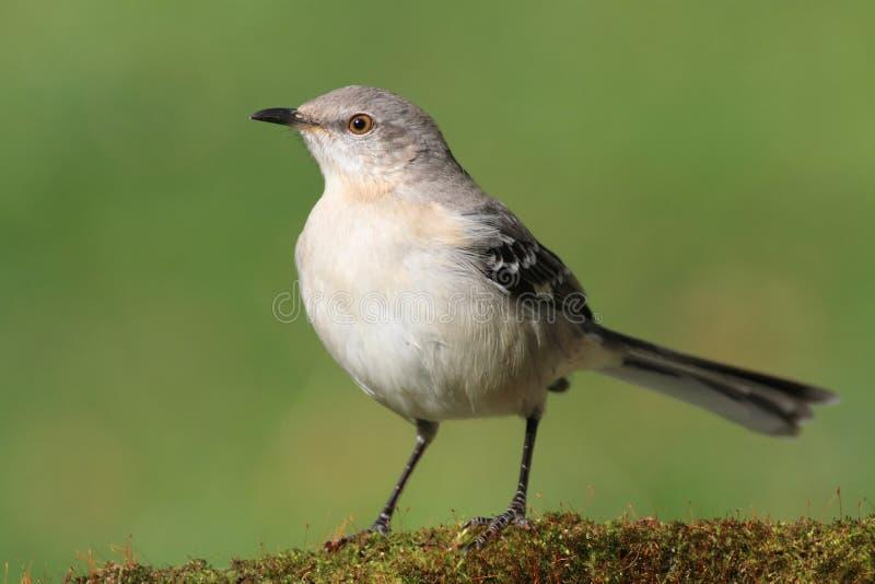 Mockingbird em um coto fotos de stock royalty free