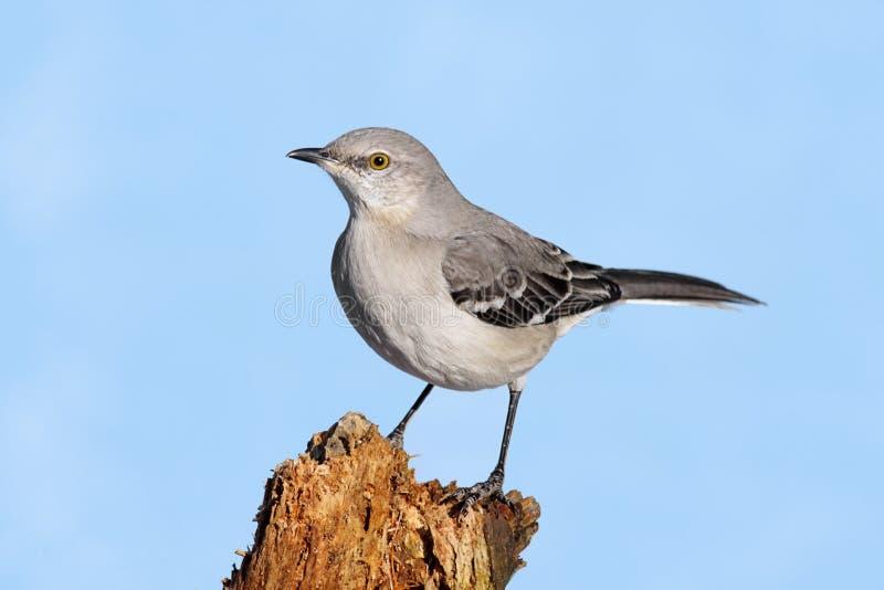 Mockingbird em um coto imagens de stock royalty free