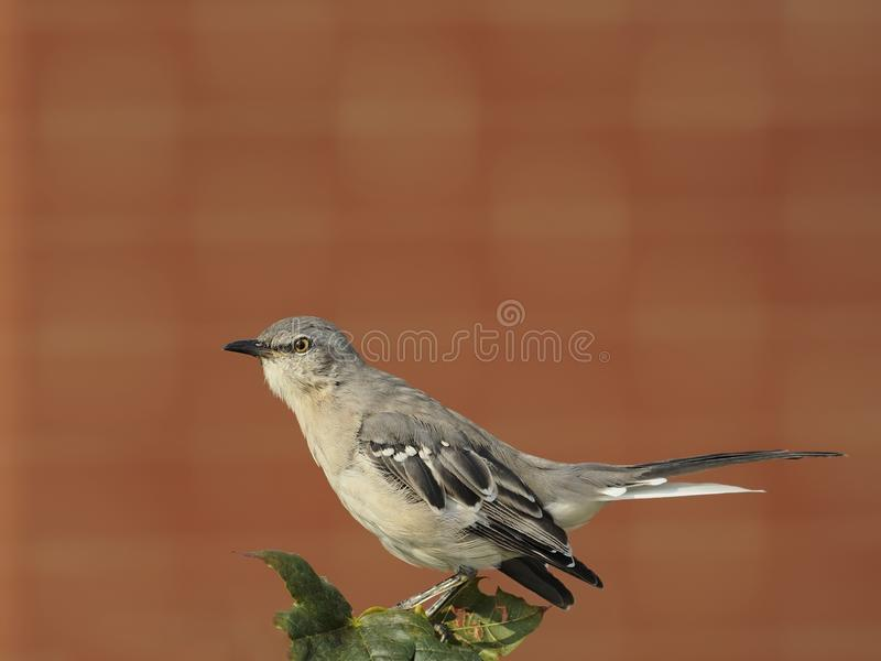 Mockingbird nordico immagini stock libere da diritti