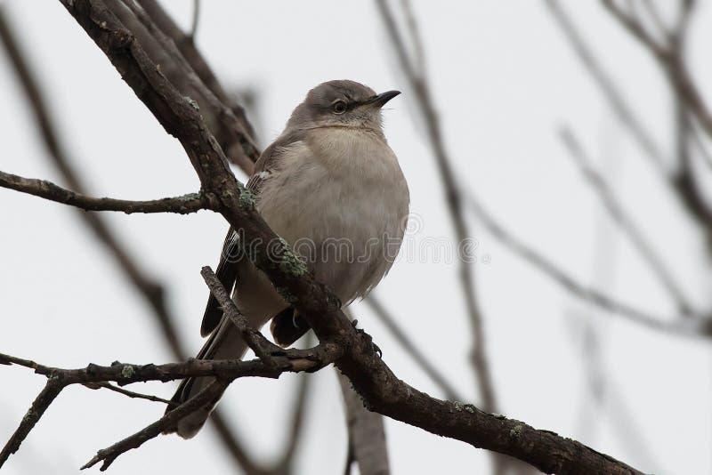 Mockingbird settentrionale - Mimus polyglottos fotografie stock