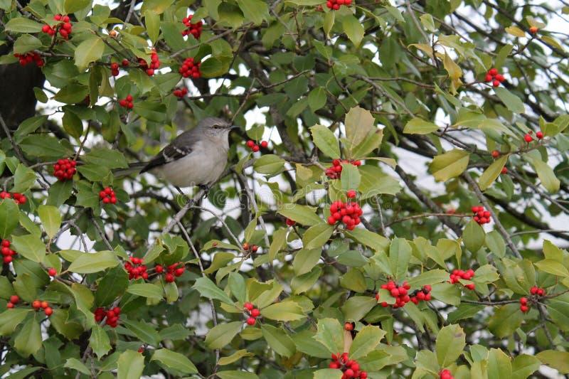 Mockingbird in tree stock photo