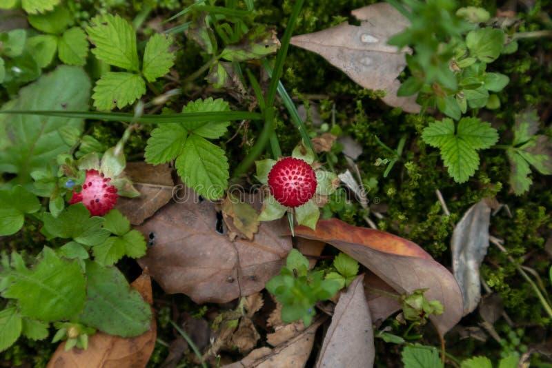 Mockstrawberry ziele zdjęcie stock