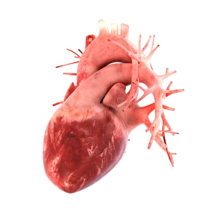 Modèle anatomiquement correct 3d de coeur humain image libre de droits