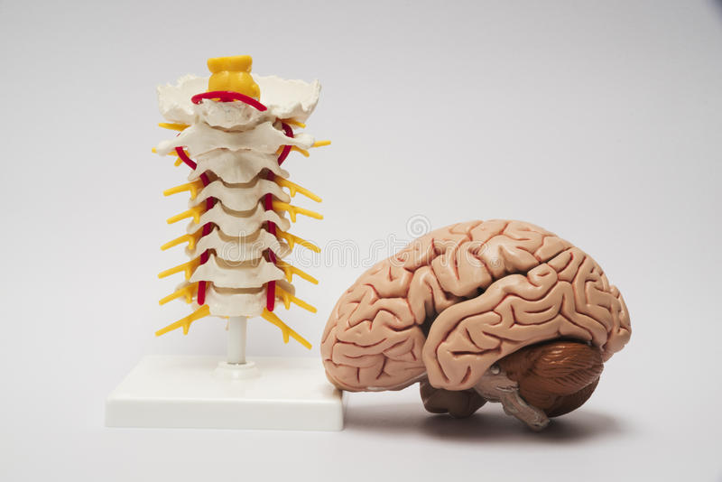 Modèle artificiel de cerveau et d'épine photographie stock