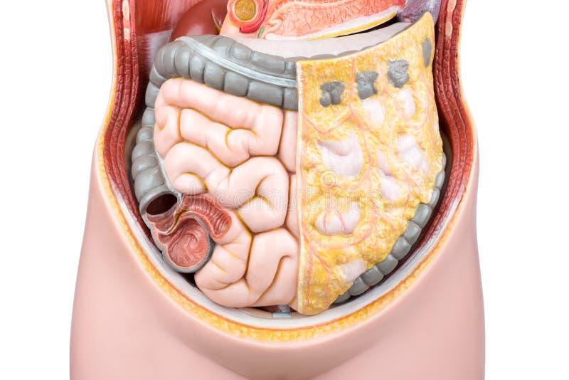 Modèle artificiel des entrailles ou des intestins humains photos stock