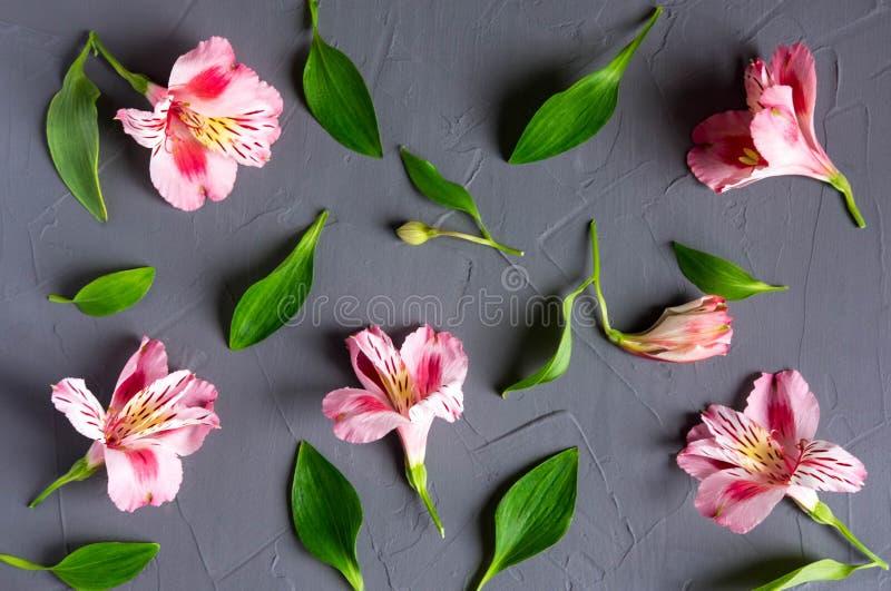 Modèle avec les fleurs roses sur un fond foncé Fleurs d'Alstroemeria sur un fond gris Fond pour la carte de voeux, bannière, images libres de droits