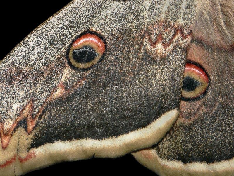 Modèle d'ailes de papillon ailes d'un fond de texture de pyri de Saturnia de papillon de nuit closeup photographie stock libre de droits