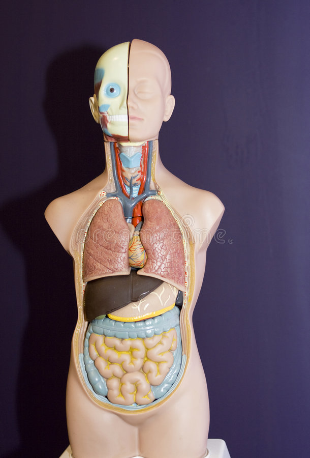 Modèle d'anatomie image libre de droits