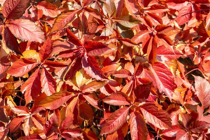 Modèle d'automne des feuilles de couleur rouge des raisins sauvages photos libres de droits