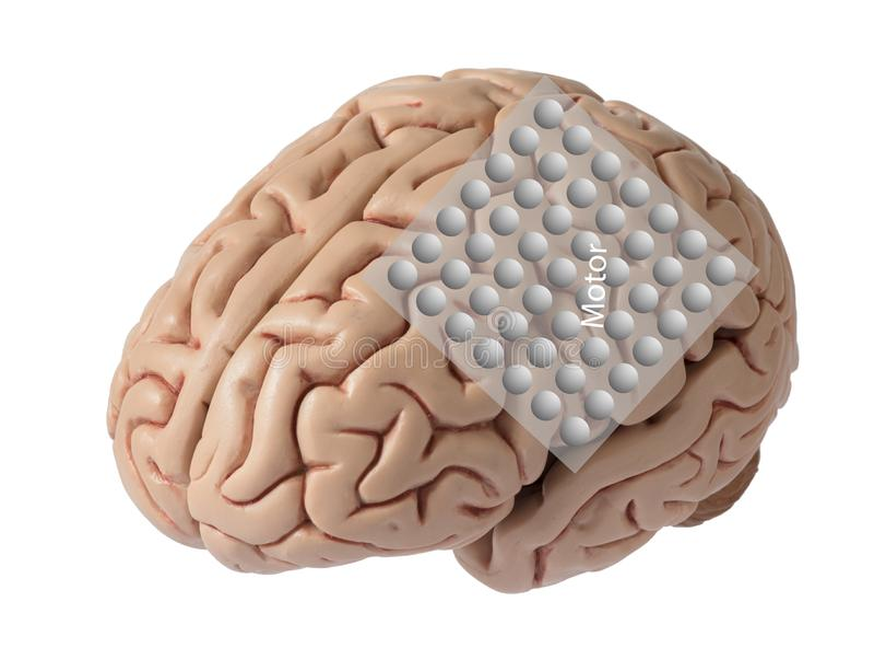 Modèle d'esprit humain avec le graphique des ondes cérébrales d'enregistrement d'électrode couvrant le cortex moteur photo libre de droits
