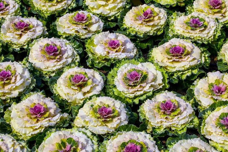Modèle de chou pourpre ornemental ou de chou frisé fleurissant photos stock