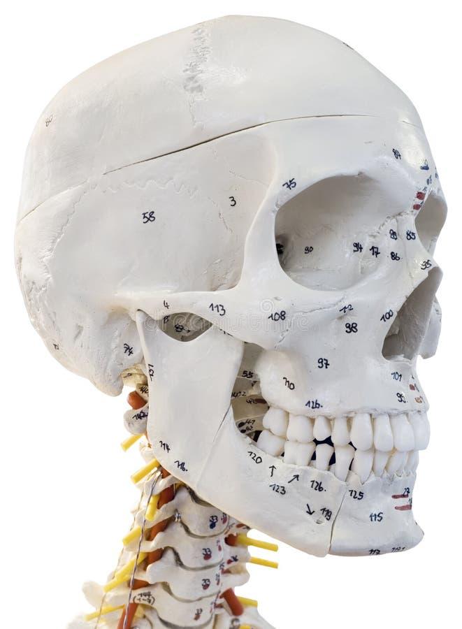 Modèle de coupe-circuit de tête humaine photographie stock libre de droits