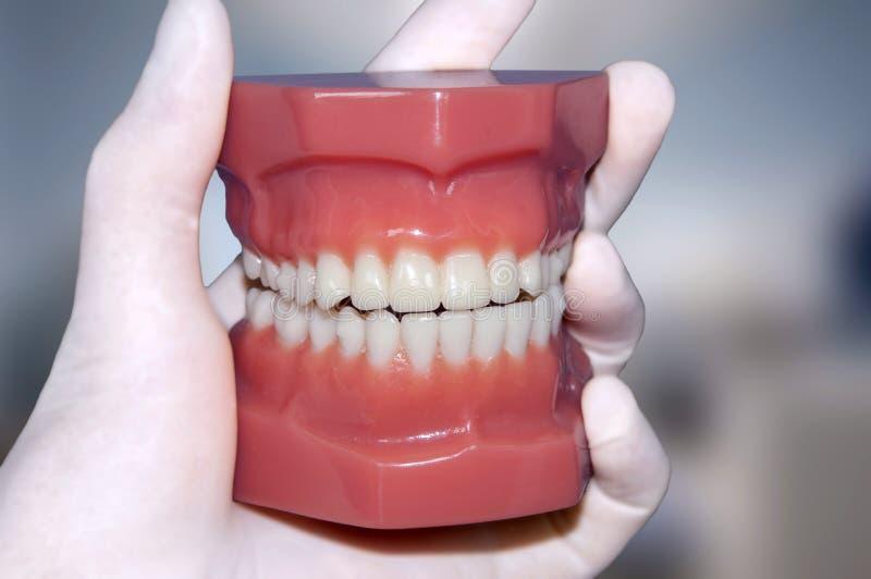 Modèle de dents d'exposition de main de dentiste photographie stock libre de droits