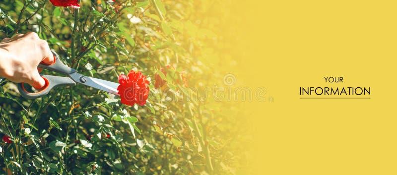 Modèle de jardinage de ciseaux d'usine de fleurs coupées de jardinière de femme image libre de droits