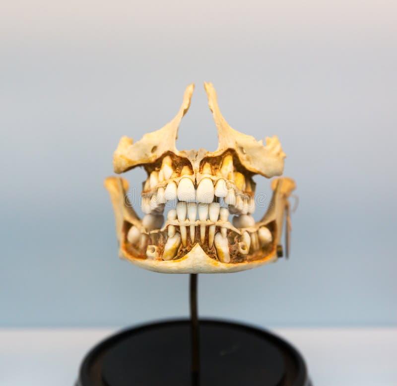 Modèle de mâchoire humaine sur le support, anatomie image stock