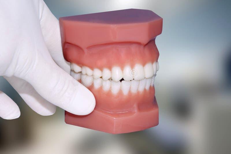 Modèle dentaire d'exposition de main de dentiste images stock