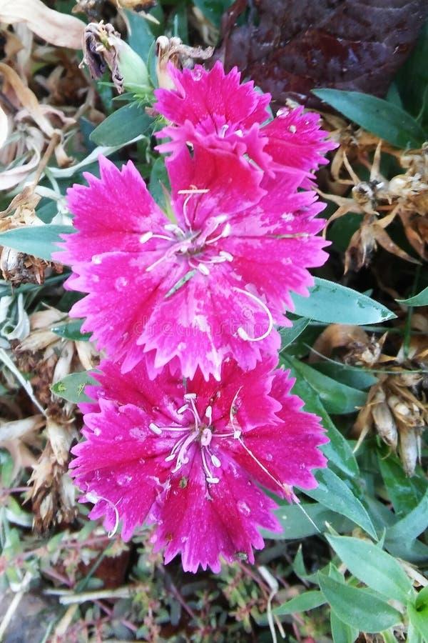 Modèle des fleurs roses en octobre photos stock