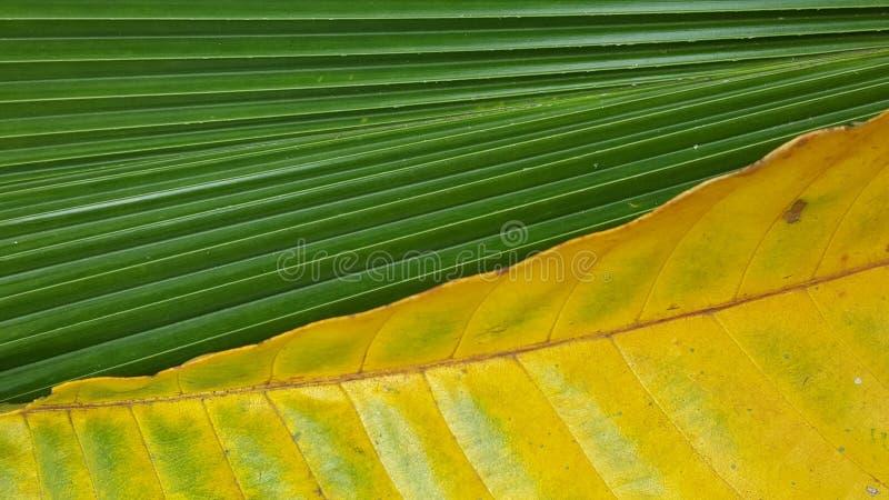 Modèle deux et couleur différents des feuilles photos libres de droits