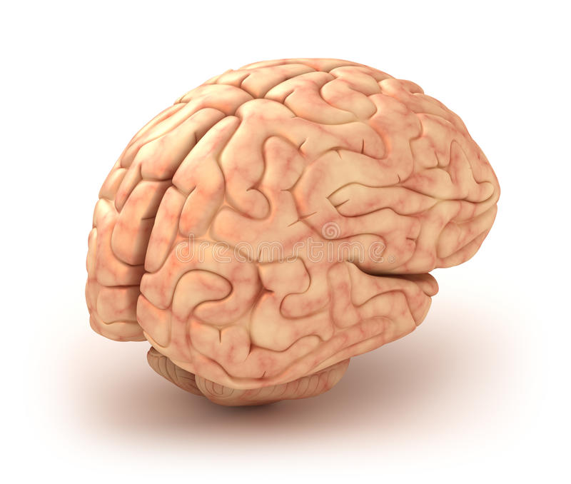 Modèle du cerveau humain 3D illustration de vecteur