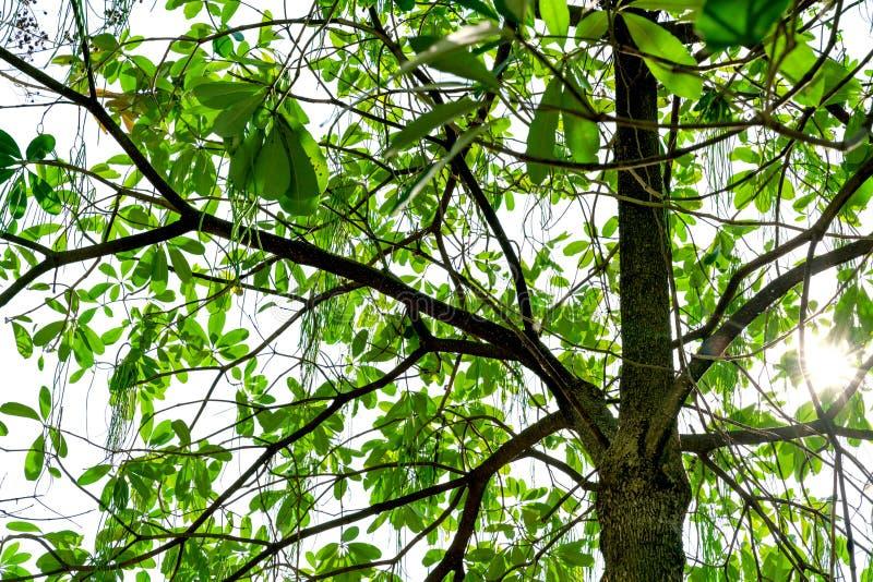 Modèle et tronc verts de feuilles à la lumière du soleil image libre de droits