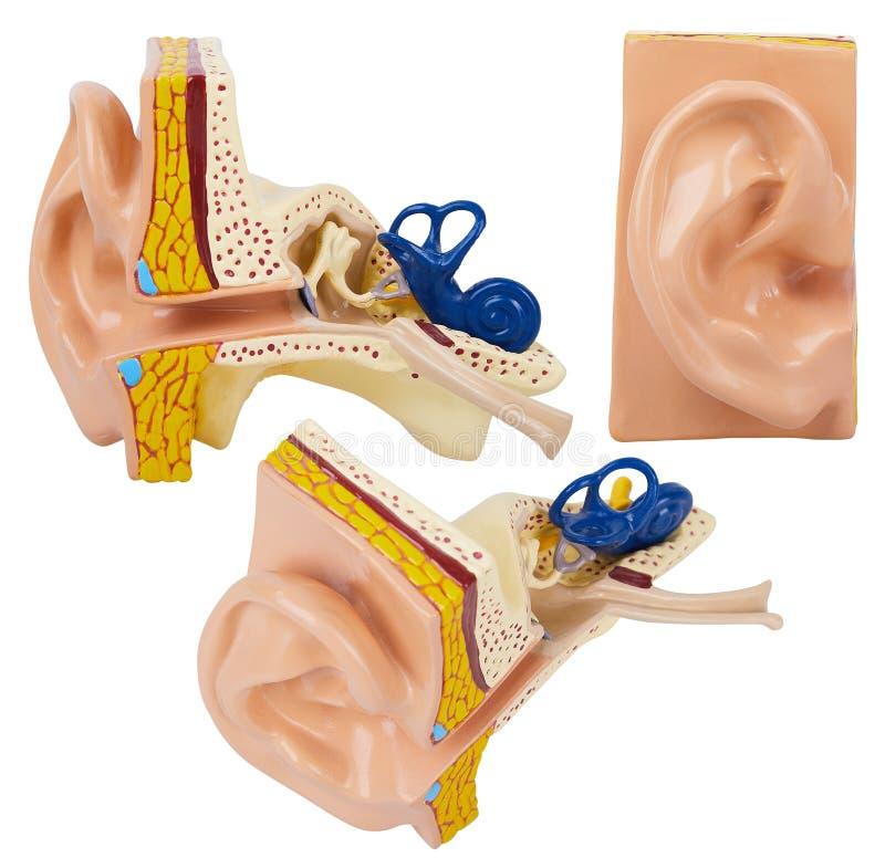 Modèle humain artificiel d'oreille d'isolement sur le fond blanc photos libres de droits