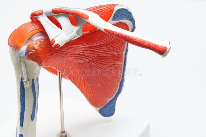Modèle humain d'épaule dans le bureau médical images stock