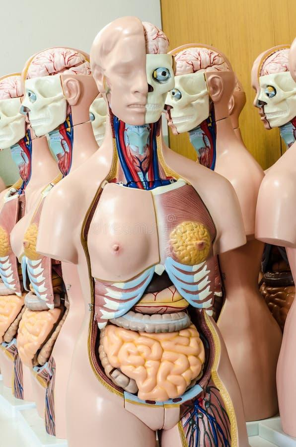 Modèle humain d'anatomie images libres de droits