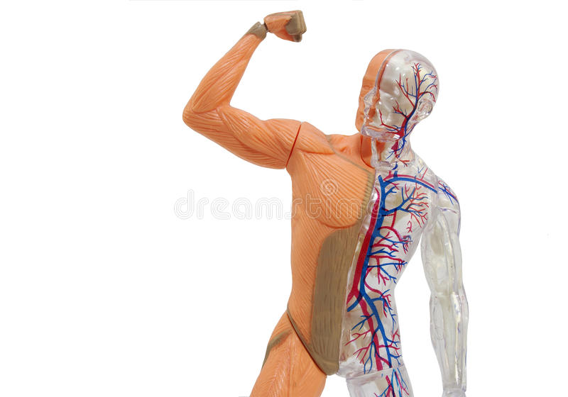 Modèle humain d'isolement d'anatomie photo stock