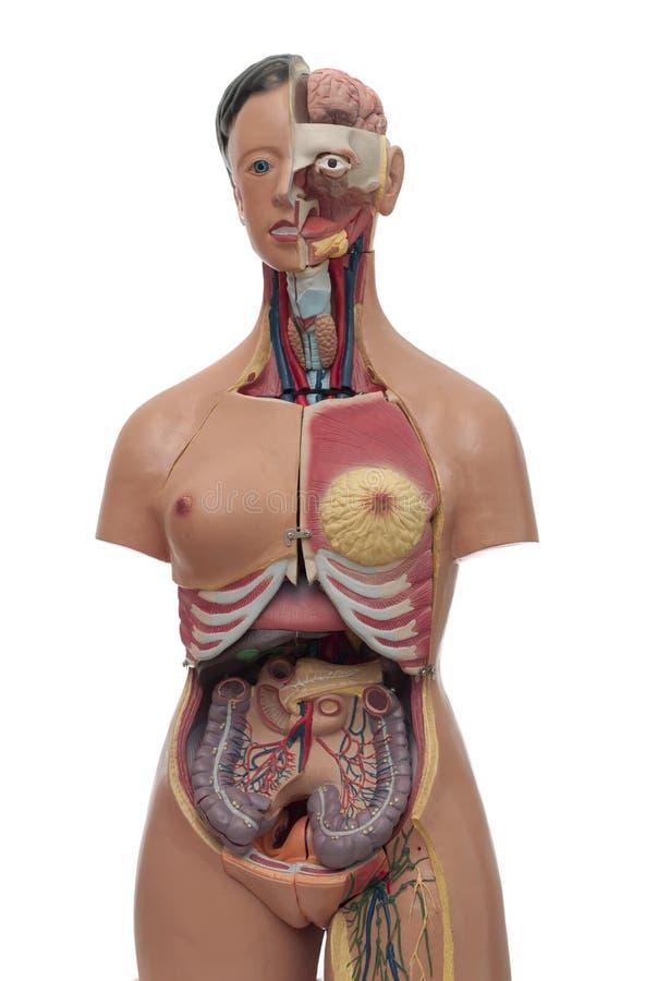 Modèle médical d'un torse humain image stock