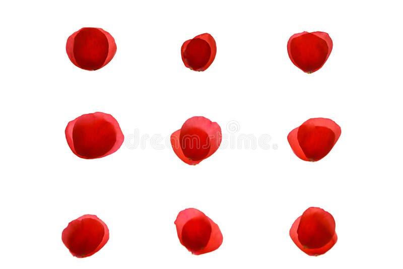 Modèle rose de corail rouge de pétale de rose de neuf paires de pétales sur le fond blanc, d'isolement photos stock