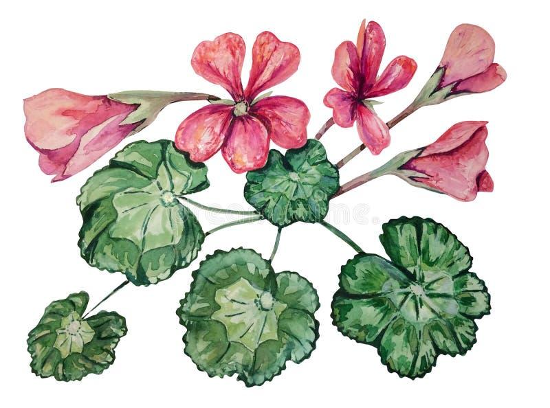 Modèle sans couture avec le géranium rose mou pour aquarelle photos libres de droits