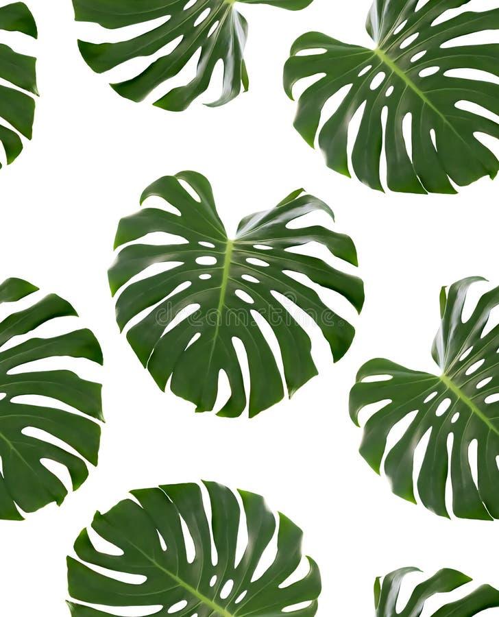 Modèle sans couture avec les feuilles vertes d'un deliciosa de Monstera de plante tropicale d'isolement sur le fond blanc Objet p photographie stock
