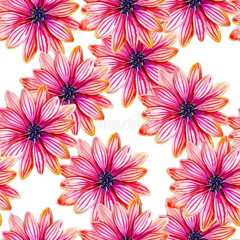Modèle sans couture d'aquarelle de fleur d'Osteospermum Fleurs tropicales lumineuses d'isolement sur le fond blanc illustration stock