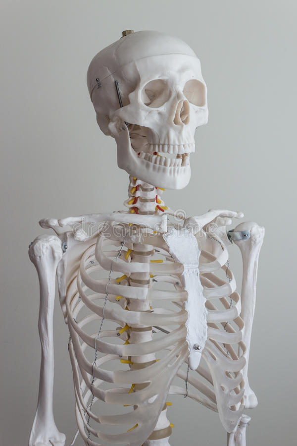 Modèle squelettique humain photos stock