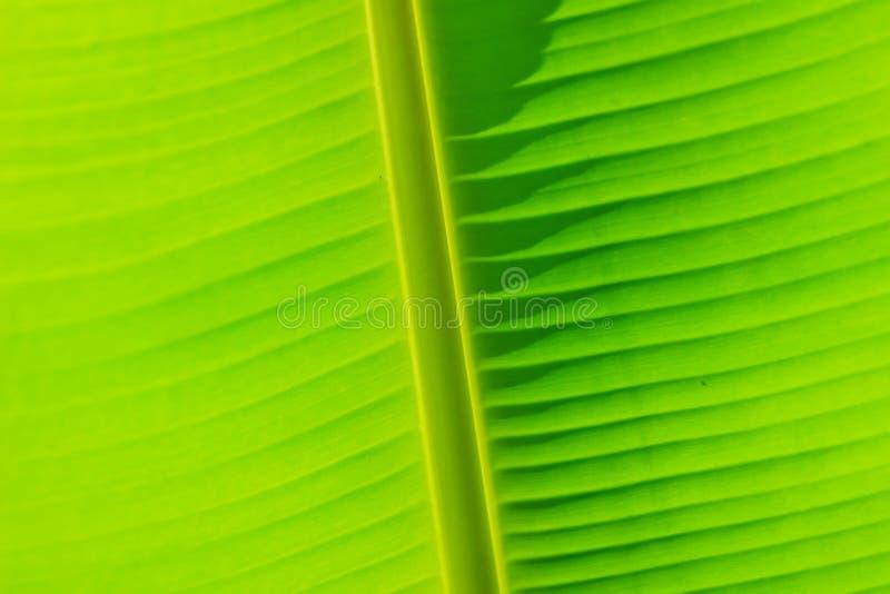 Modèle vert de feuille de bananier pour le fond Exoti coloré photos libres de droits