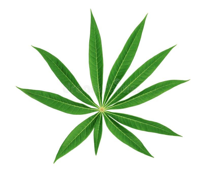 Modèle vert de feuilles d'isolement sur le fond blanc, vue de face image libre de droits