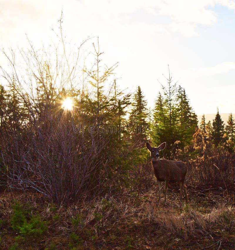 Modélisation des cerfs communs au lever de soleil photographie stock libre de droits