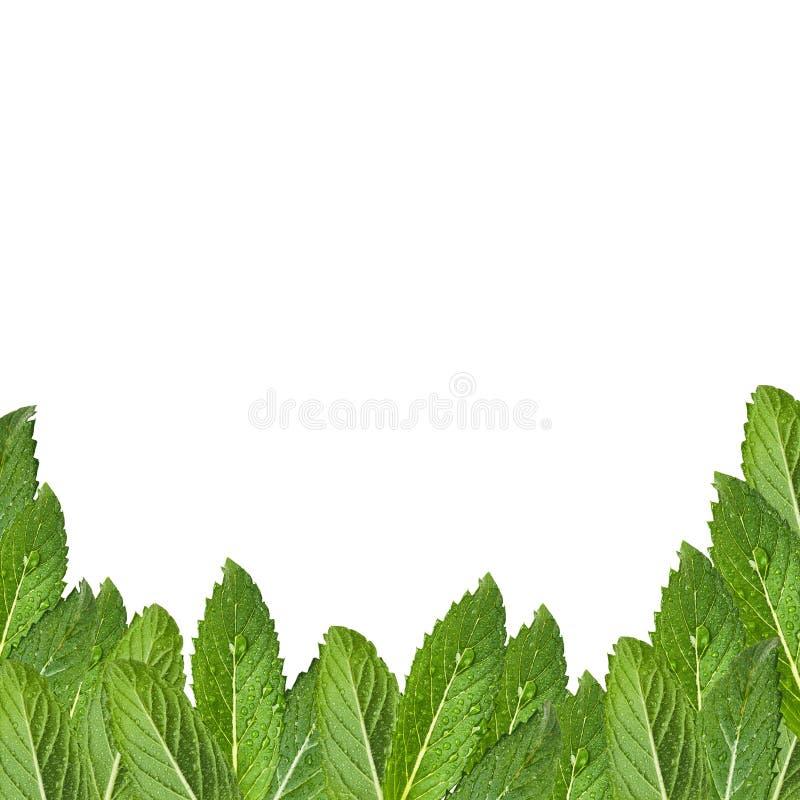 Mod?le des feuilles en bon ?tat Menthe fra?che avec des gouttes de l'eau images stock