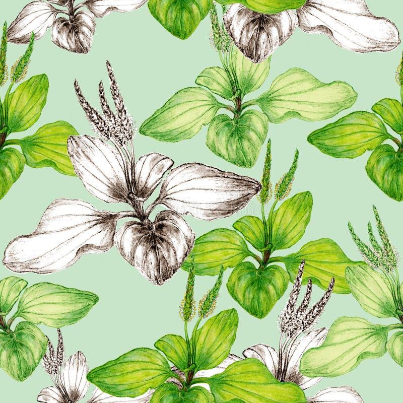 Mod?le sans couture botanique tir? par la main d'usine de plantain illustration de vecteur