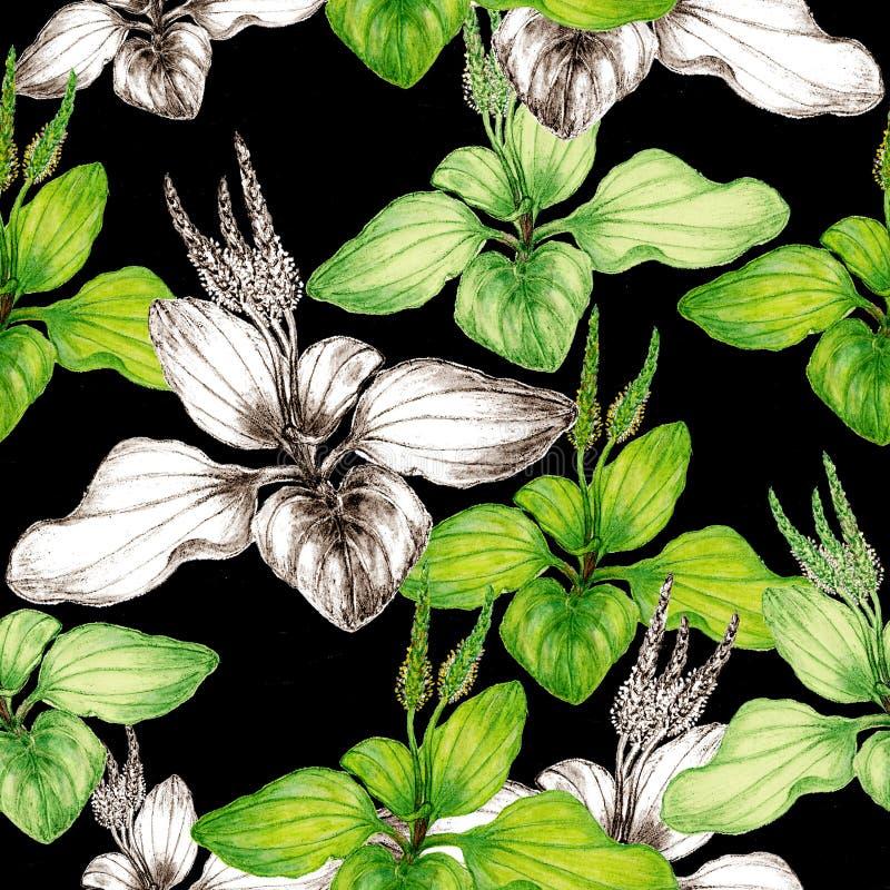 Mod?le sans couture botanique tir? par la main d'usine de plantain illustration libre de droits