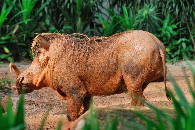 Modder-behandeld Wrattenzwijn stock afbeelding