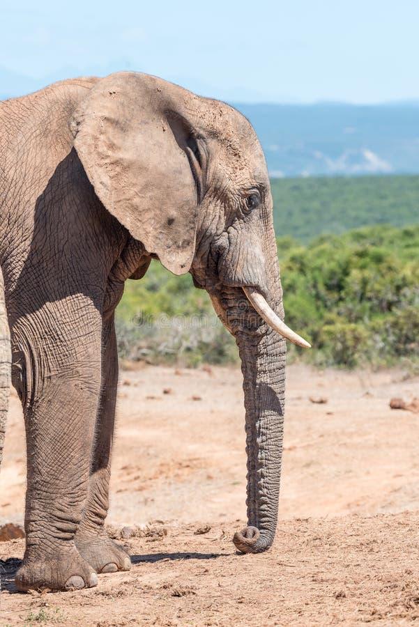 Modder-behandelde Olifant die zijn boomstam rusten stock foto's