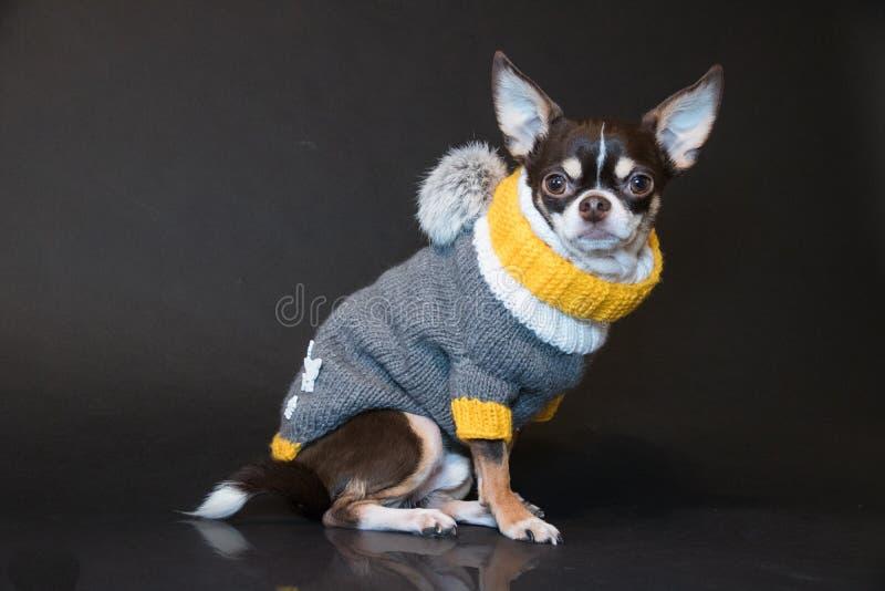 Mode-Chihuahuahaltung im Studio stockbild