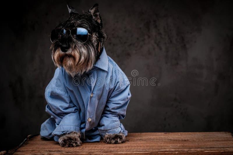 Modehundekonzept Netter moderner schottischer Terrier, der ein blaues Hemd und Sonnenbrille auf einem grauen Hintergrund trägt stockbild