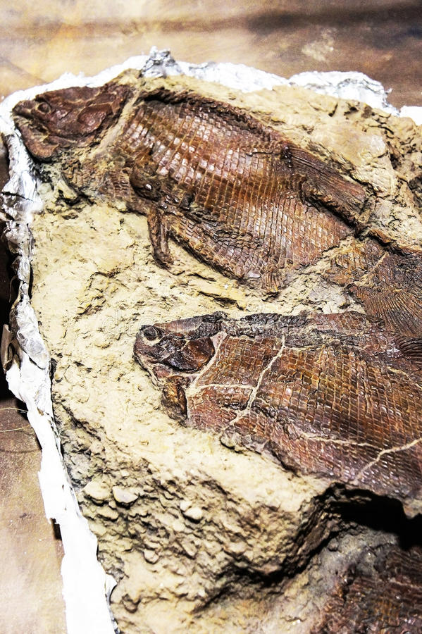Model fossil of ancient fish royalty free stock images