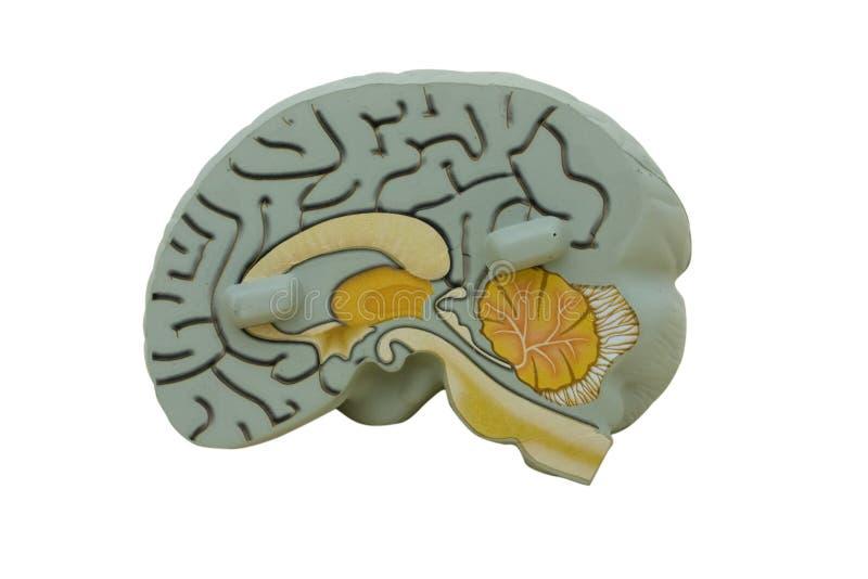 Model Hersenen royalty-vrije stock afbeeldingen