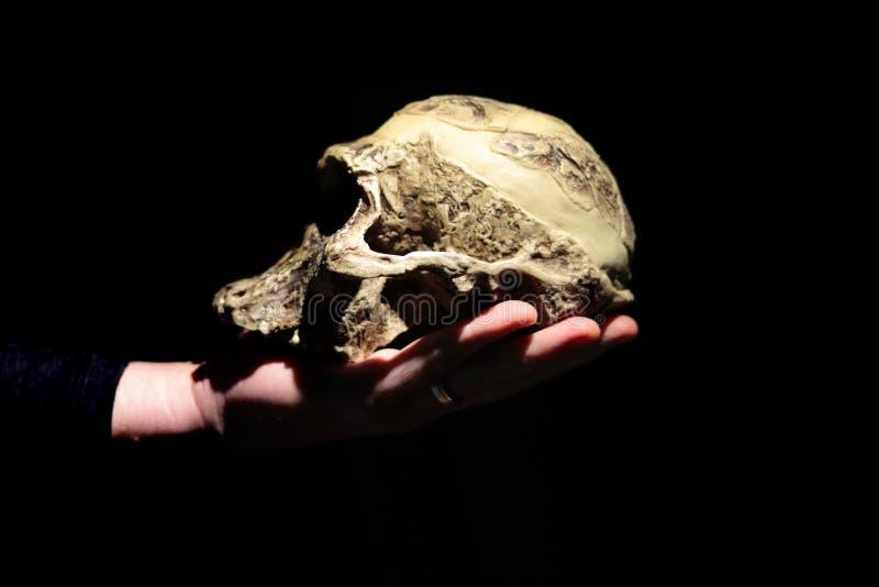 Model of human ancestor skull Australopithecus africanus on a hand. Dark background stock images
